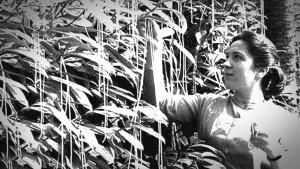 "1957 - BBC ""Swiss Spaghetti Harvest"" hoax"